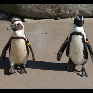 Gay Penguin Couple Forced to Separate to Breed - Video