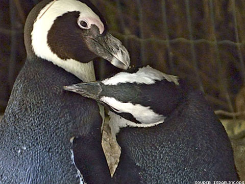 WATCH: Israel's Lesbian Penguin Couple Takes Next Step in Their Relationship